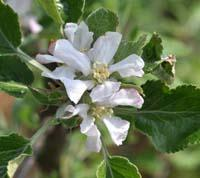 Browns apple flower