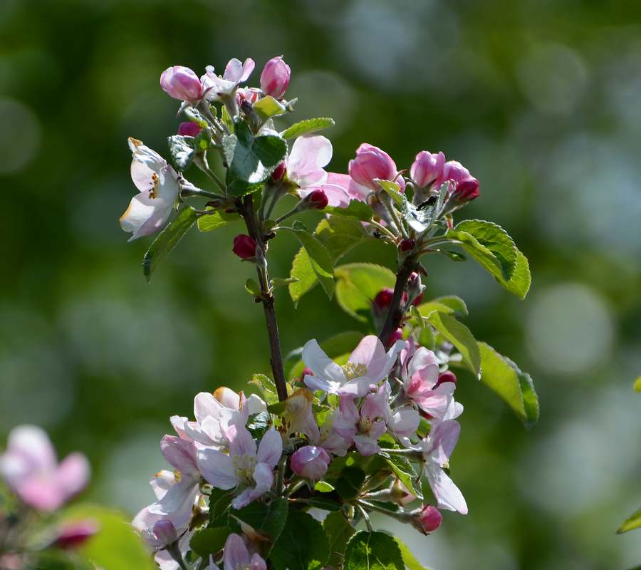 apple blossoms blooming apple trees apple flowers. Black Bedroom Furniture Sets. Home Design Ideas