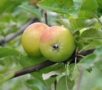 Api Apple or Lady Apple