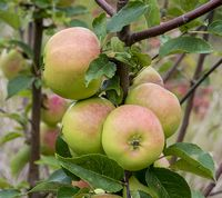 Pomme d'Api are an old french apple variety
