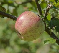 Bardsey apple