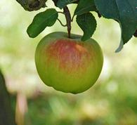 Boiken Apple