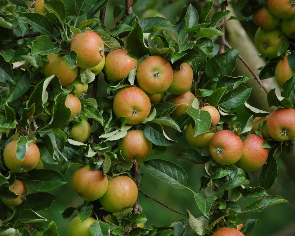 cox orange apfelpfannkuchen