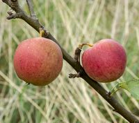 Esopus Spitzenburg are an old american apple variety