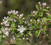 Malus sieversii blomster