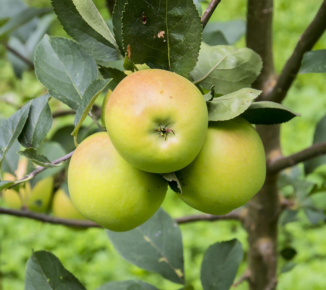 спорт описание с фото яблони заря алатау локация