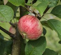 Sariola Apple