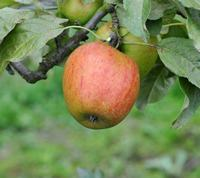 Autumn Pearmain Apple