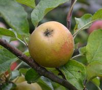 Saint Edmunds Russet Apple