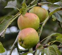 Sturmer Pippin Apples