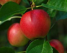 Summerred Apple