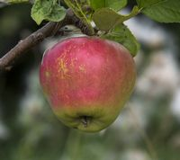 Vasa Winter Apple