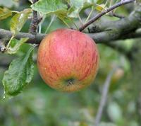 Zoete Oranje 1441 Apple