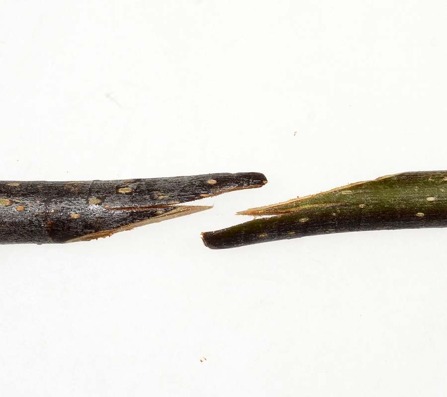 Easy Grafting And Budding Of Apple Trees Splice Grafting